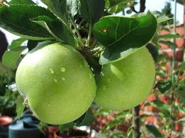 apple.jpg - 15.49 kb